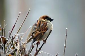 sparrow-50346_1920